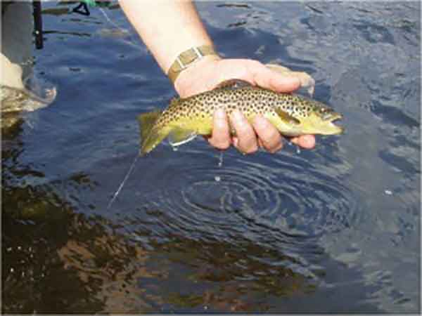 Brown Trout Ohiopyle Wilderness Voyageurs