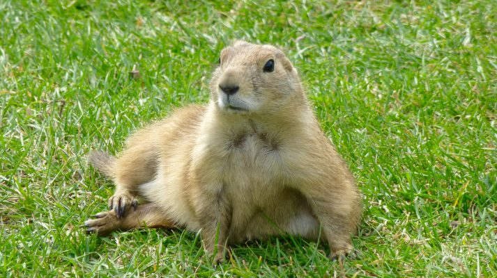 Idaho Prairie Dog