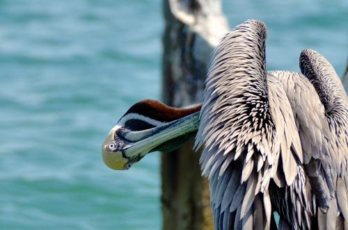 Pelican on Florida's Suncoast